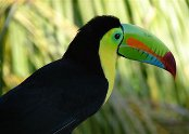 thumb-belize-toucan