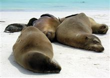 thumb-galapagos-seals