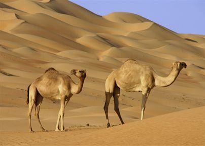 thumb-oman-camels