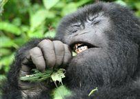 thumb-rwanda-gorilla