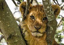 thumb-tanzania-lion