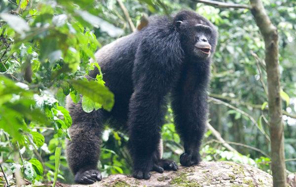 Uganda's Primate Discovery